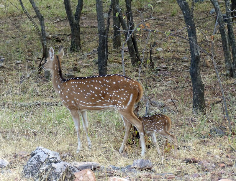 Chitral and faun, Ranthambore
