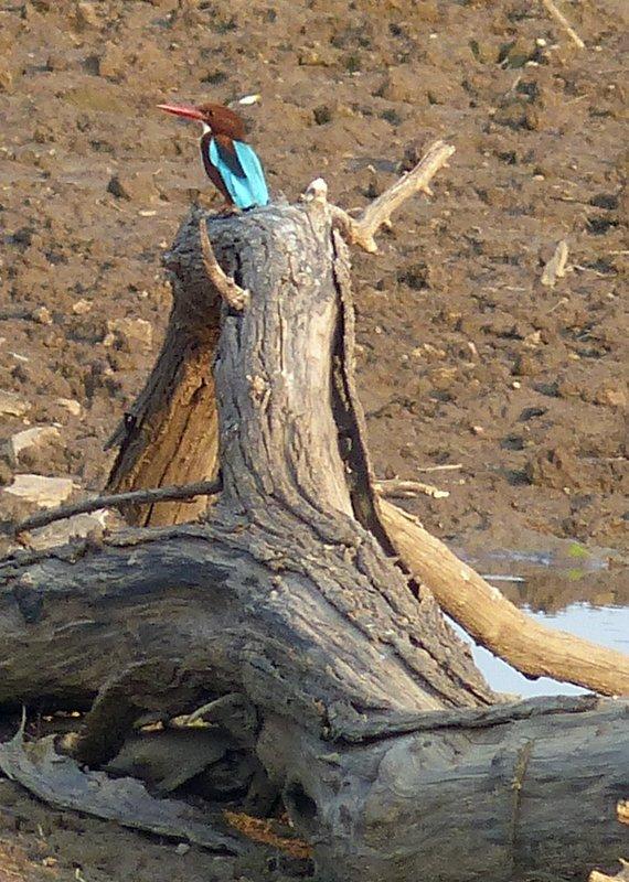 White throated kingfisher, Ranthambore