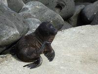 105363346461861-Seal_lion_pu..a_Espanola.jpg