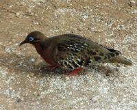 6444757-Galapagos_dove_Isla_Seymour.jpg