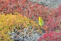 6444937-Yellow_warbler_Islas_Plazas.jpg