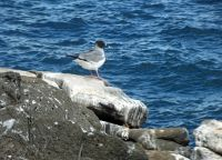6454341-Swallow_tailed_gull_Isla_Seymour.jpg