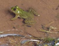 7535601-There_are_tiny_frogs_too_Khichan.jpg