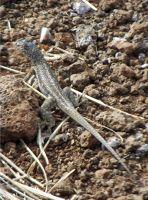 873363086445289-Lava_lizard_..os_Islands.jpg