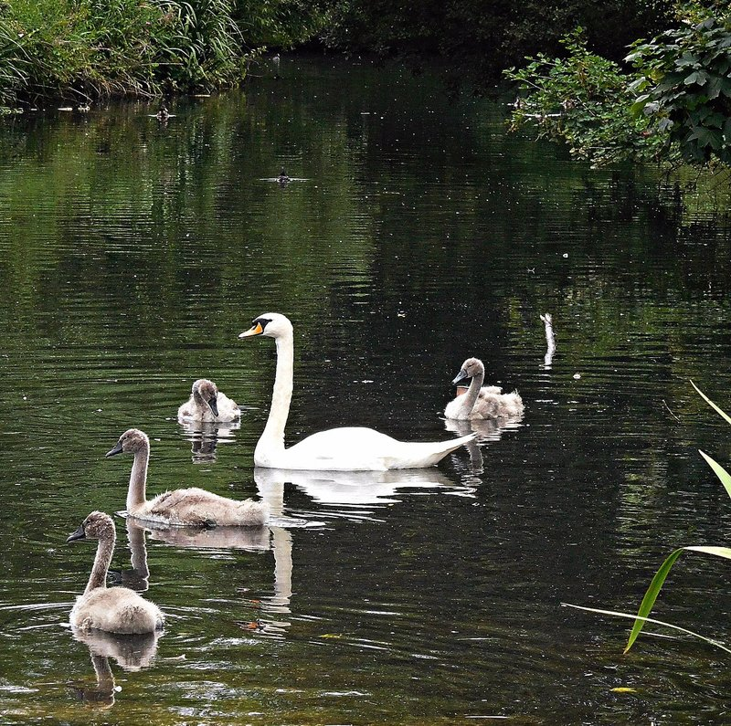 Swans on Pymmes Park lake