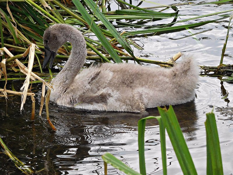 Cygnet on Pymme Park lake