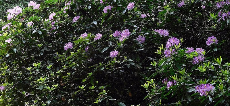 Kenwood rhododendrons