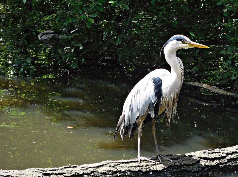 A heron on the Decoy Pond