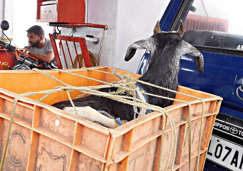 Goat on a boat: ferry to Fort Cochin from Vypin