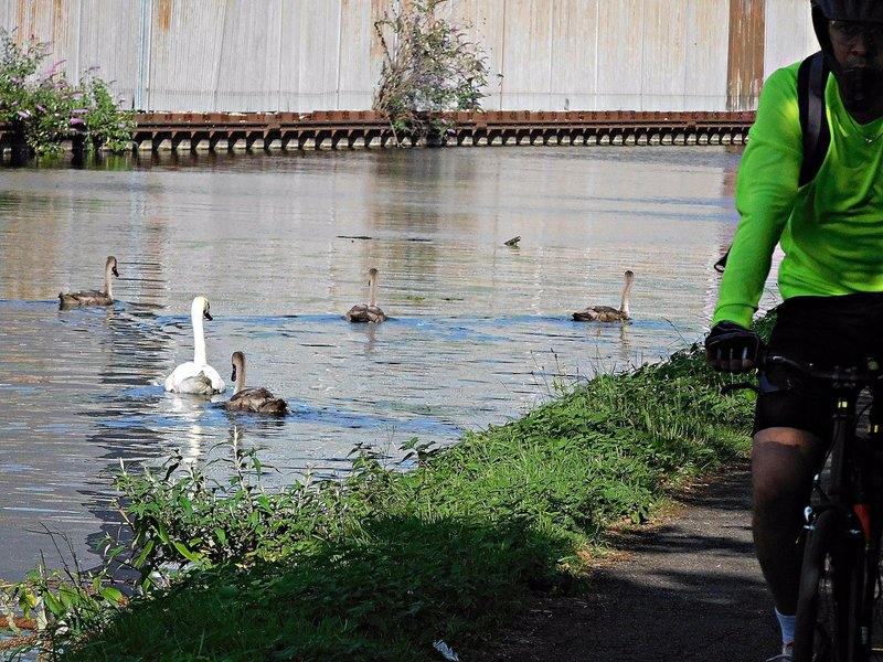 Cyclist and swans and Grand Union Canal