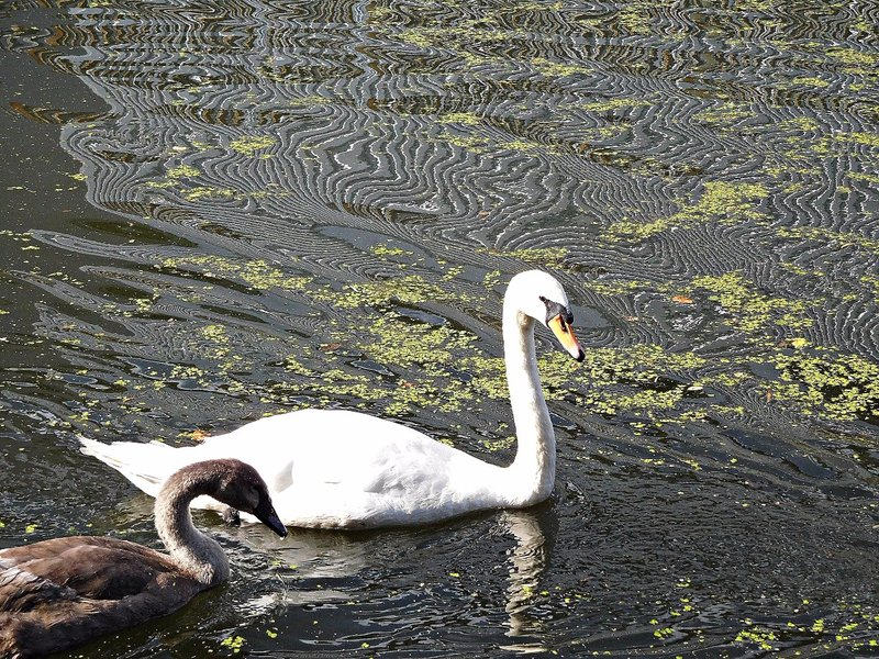 Two swans on the Grand Union