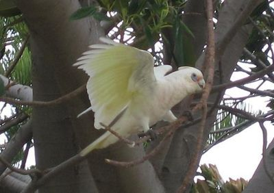 The Corella Tree