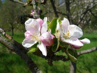 4806501-Apple_blossoms_Gochsheim.jpg
