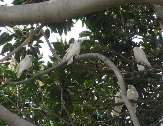 The Corella Tree