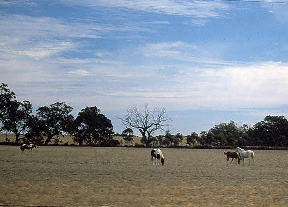 Horses in the pasture - Mildura