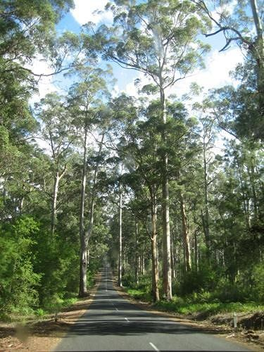 Karri Forests