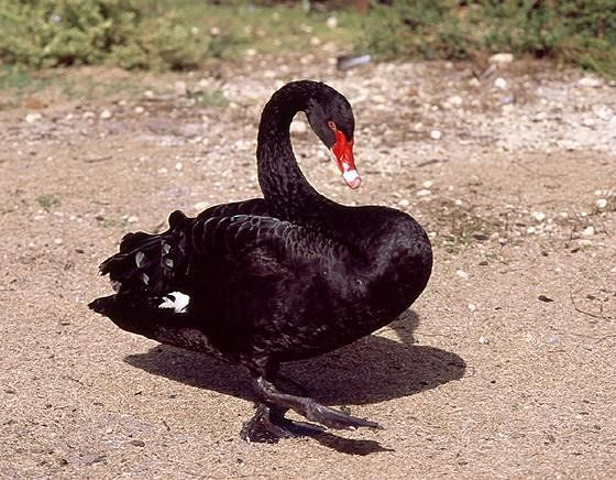 The Black Swan, WA's Heraldic Animal