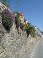 4918966-Plants_on_the_stone_wall_Gochsheim.jpg