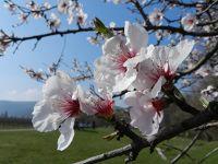6147531-Almond_Blossom_Edenkoben.jpg