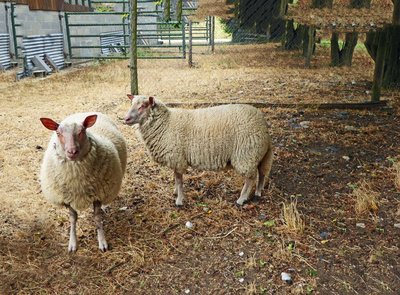 Two of the sheep at our gite