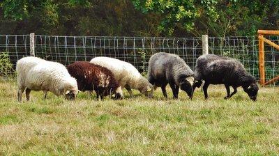 Sheep grazing at Kerhinet Village