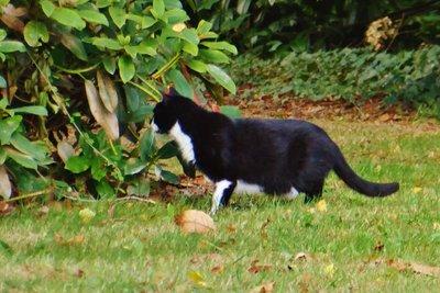 The garden tuxedo cat