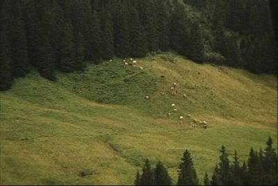 Cows grazing across the road . . . hear the bells at Champoussin, Switzerland