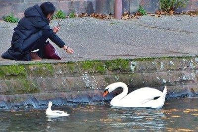 Lady feeding a swan across from the Alsatian Folk Museum