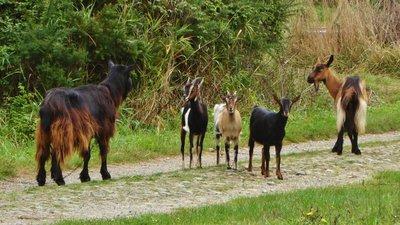 Exotic goats on rue Ker Moureau