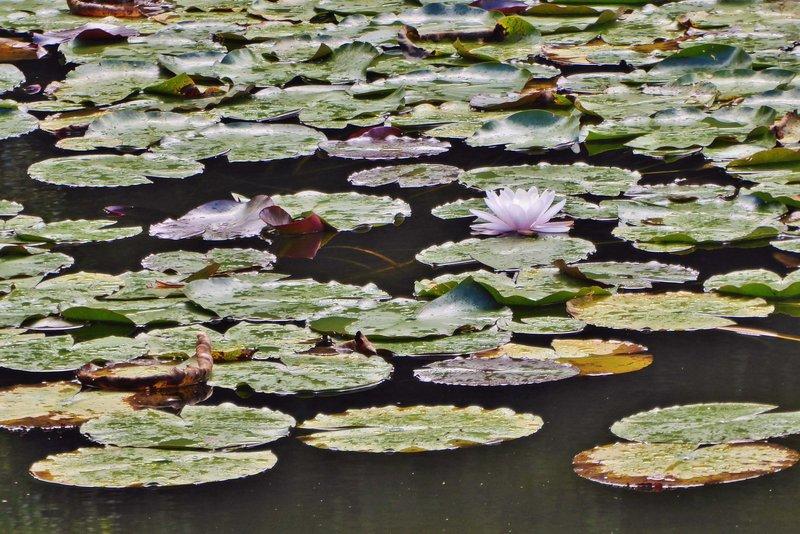 Water Lilies at Kermoureau