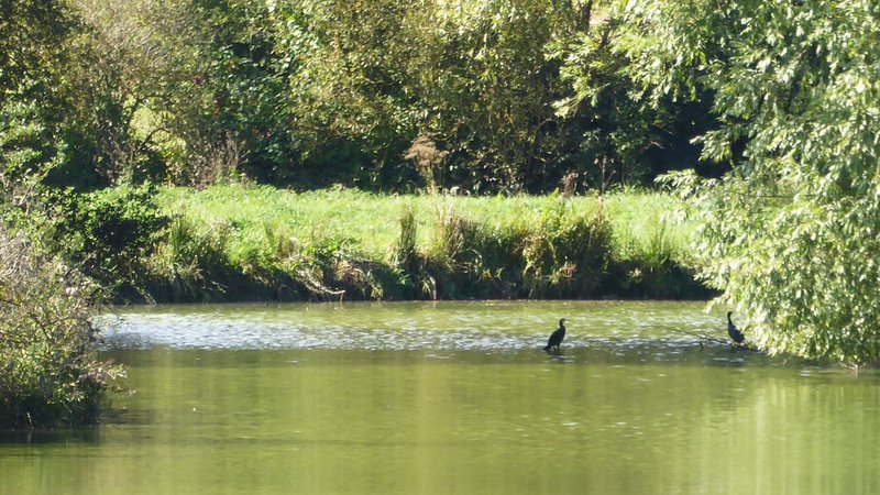 Cormorants seen from the stone bridge