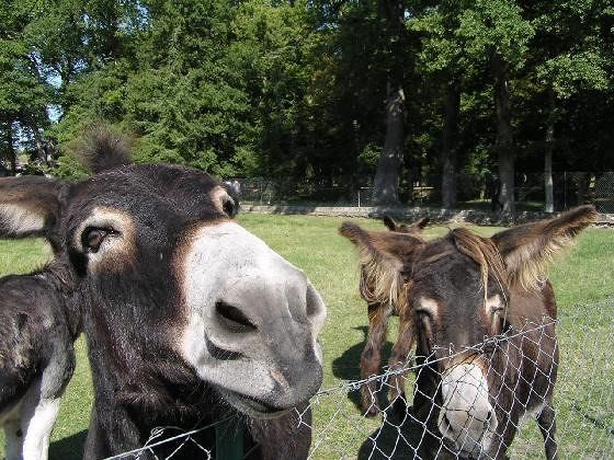 Closeup of the donkeys at Château Chenonceau