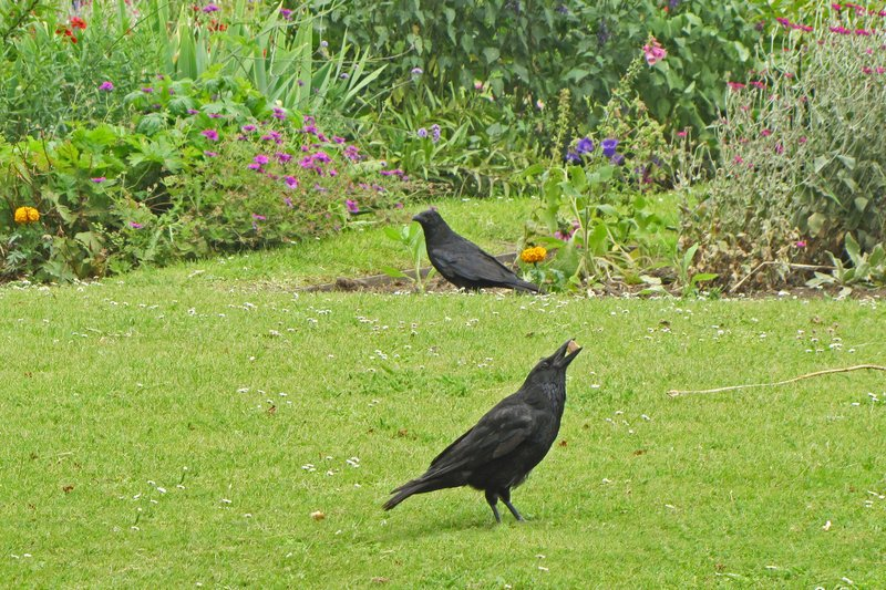Snack time for the crow too.