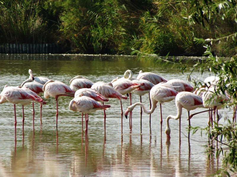 Flamants or flamingoes in The Camargue