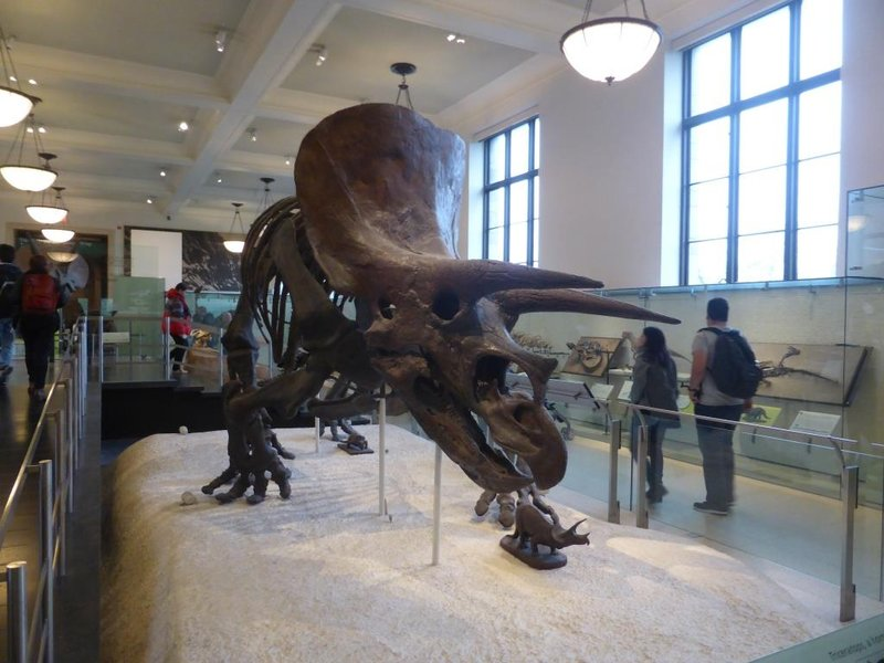 A triceratops at the Museum of National History