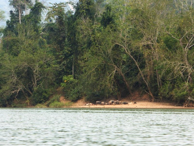 another herd of water buffaloes
