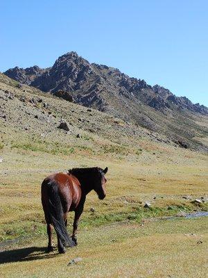 Gobi - Horse