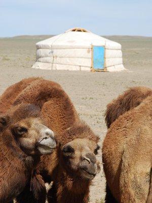 Gobi - Camels and ger