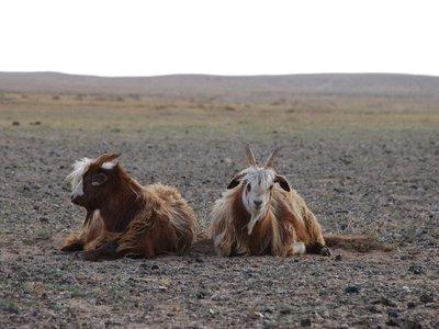 Gobi - A couple of goats