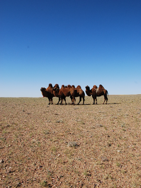 Gobi - Camels