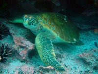 Galapagos - Green sea turtle