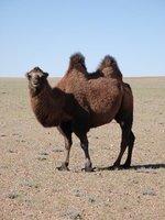 Gobi - Camel