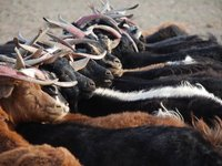 Gobi - Goats