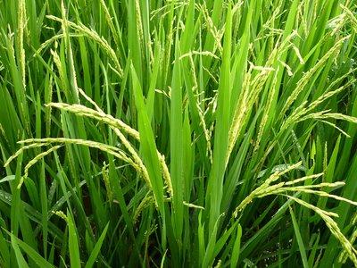 az élő rizs