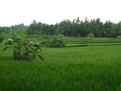 rizsföld kis teraszosítással