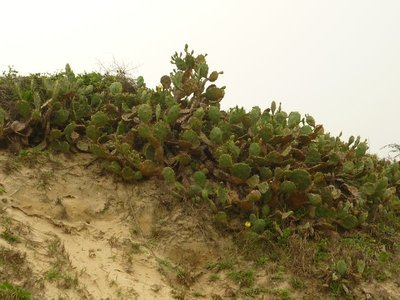 kaktusz halom, biztos mehikóból fújta ide a szél a magokat