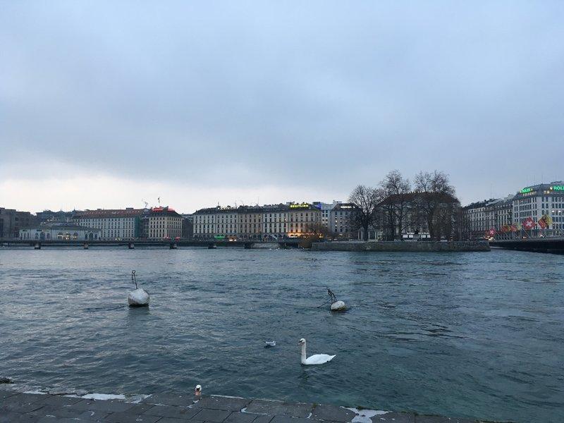 Lake Geneva swans