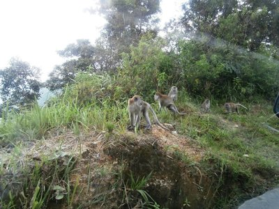 Danau Toba monkeys near the way