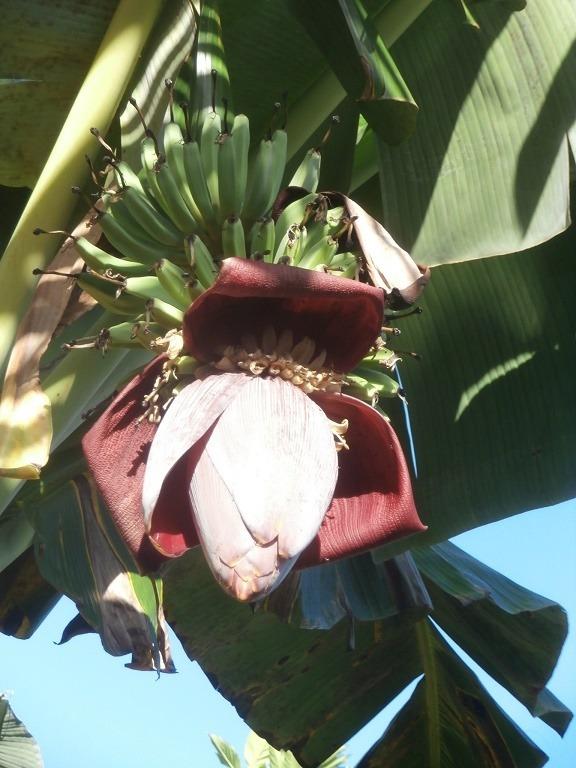 Bunga pohon Banana