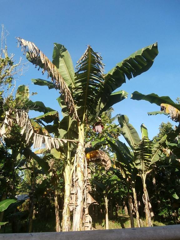 Pohon Banana Saparua